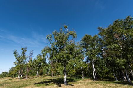 Birch trees with green leaves on grass with blue sky at background