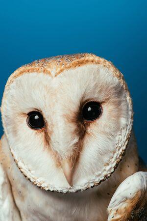 fluffy wild barn owl muzzle isolated on blue