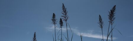 Stems of feather reed grass with blue sky at background, panoramic shot