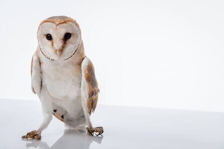 beautiful wild barn owl isolated on white with copy space
