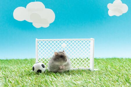 funny hamster near toy soccer ball and gates on green grass on blue background with clouds, sports betting concept
