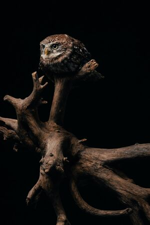 brown cute wild owl on wooden branch isolated on black