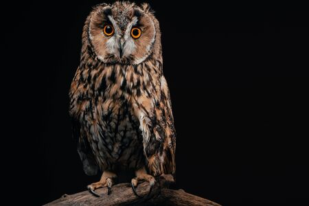 cute wild owl sitting on wooden branch isolated on black