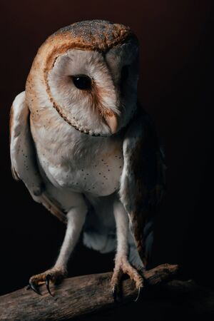 cute wild barn owl on wooden branch on dark background