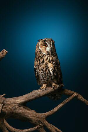 cute wild owl on wooden branch on dark blue background Standard-Bild