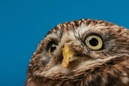close up view of cute wild owl muzzle isolated on blue