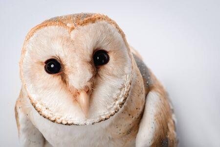 close up view of beautiful wild barn owl muzzle isolated on white Zdjęcie Seryjne