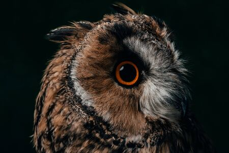 close up view of wild owl muzzle isolated on black 写真素材