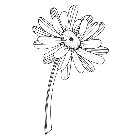 Vector Gerbera floral botanical flower. Wild spring leaf wildflower isolated. Black and white engraved ink art. Isolated gerbera illustration element on white background.