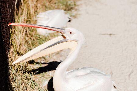 selective focus of pelican with big beak screaming in zoo Banco de Imagens