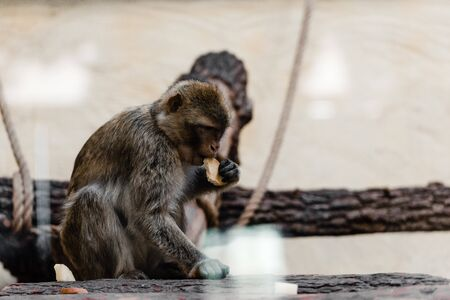 selective focus of cute monkey eating cookie in zoo Stock Photo
