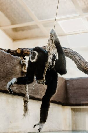 selective focus of cute monkey holding rope and swinging in zoo Stock Photo