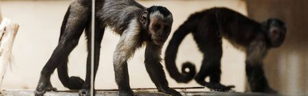 panoramic shot of adorable monkeys in zoo