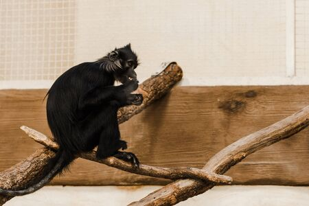 selective focus of cute black ape sitting on wooden log Stock Photo - 135121703