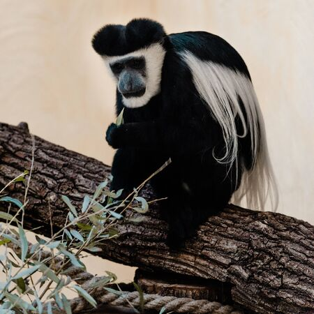 selective focus of black and white monkey sitting on tree near plant Stock Photo