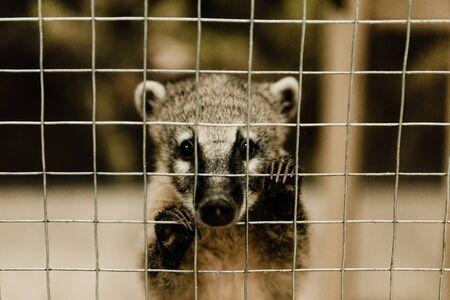 selective focus of cute nasua near cage