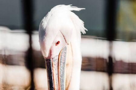 selective focus of pelican with big beak in zoo Banco de Imagens