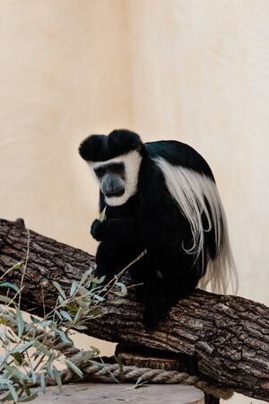 selective focus of black and white monkey sitting on tree near green plant