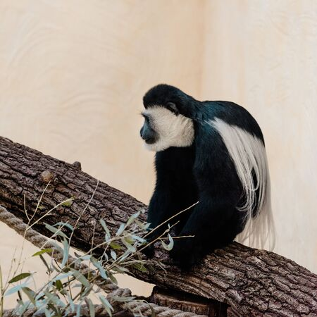 selective focus of adorable black and white monkey sitting on tree Stock Photo - 134659675