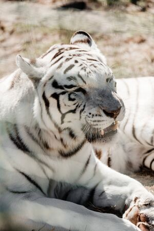 selective focus of dangerous white tiger lying near cage in zoo Stock fotó