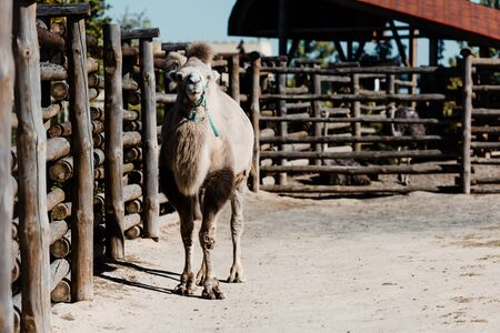 selective focus of cute camel walking near wooden fence in zoo