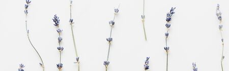 panoramic shot of dry lavender twigs with flowers isolated on white 写真素材