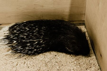 dangerous and wild porcupine sitting in zoo