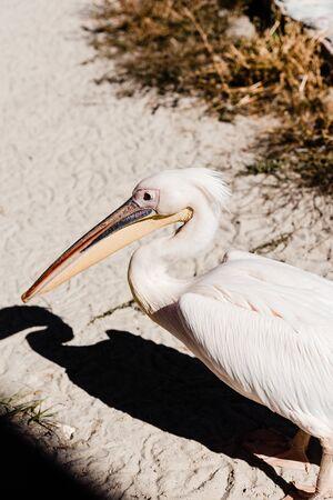 pelican with big beak walking on ground near grass Banco de Imagens - 134664195