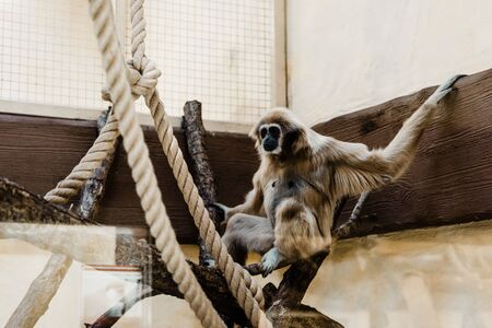 selective focus of monkey sitting on wooden log near ropes Stock Photo - 134665613