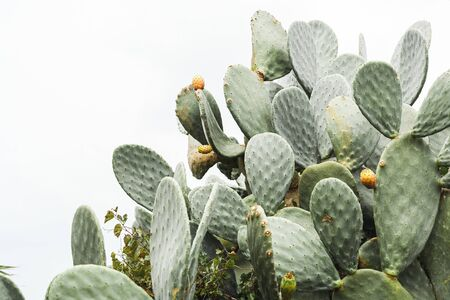 green prickly pear cactus with spikes in italy Stock Photo