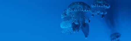 Panoramic shot of spotted jellyfishes on blue background Reklamní fotografie
