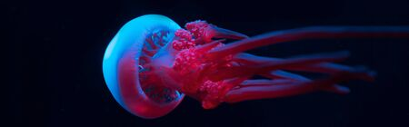 Panoramic shot of jellyfish in blue and pink neon lights on black background