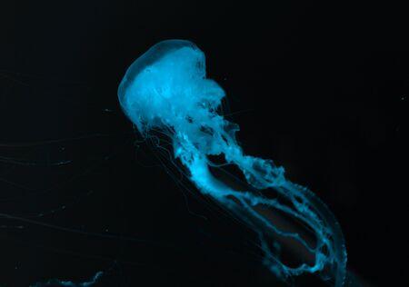 Kwallen in blauw neonlicht op zwarte achtergrond Stockfoto