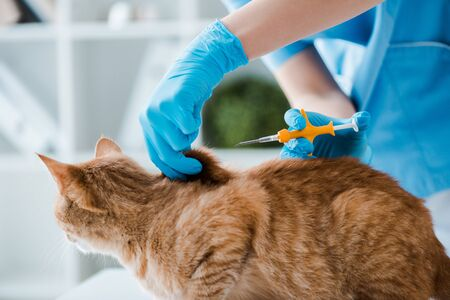 cropped view of veterinarian doing implantation of identification microchip to red tabby cat