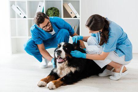 attentive veterinarian examining ear of bernese mountain dog near colleague Stock Photo