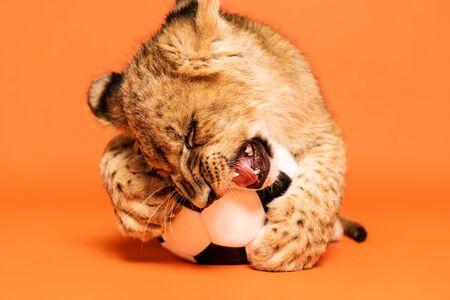 cute lion cub lying nibbling soccer ball on orange background