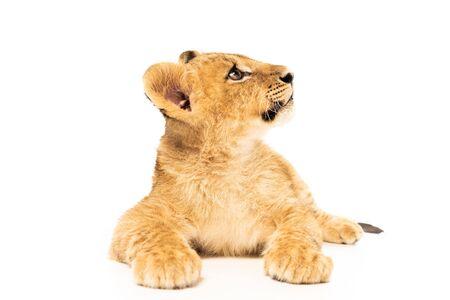 lionceau mignon se trouvant et regardant loin d'isolement sur le blanc