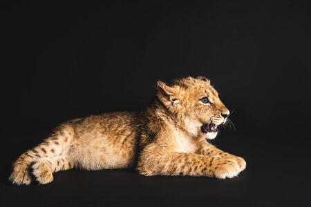 Süßes Löwenjunges, das isoliert auf Schwarz liegt