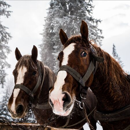 Horses with  harness in snowy mountains with pine trees 스톡 콘텐츠