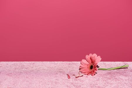 gerbera with picked out petals on velour pink cloth isolated on pink, girlish concept