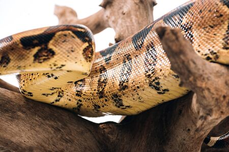 Selective focus of pattern on python snakeskin on wooden log isolated on white