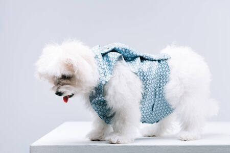 Havanese dog in waistcoat on white surface isolated on grey