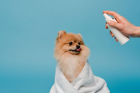 cropped view of groomer with spray bottle near cute dog wrapped in towel on blue