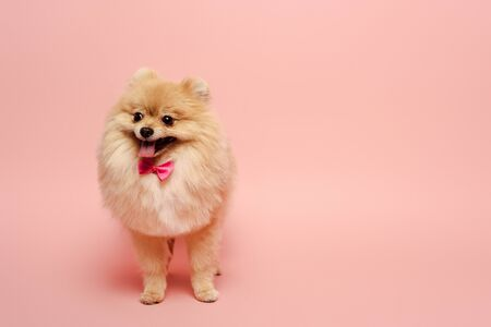 fluffy pomeranian spitz dog with cute bow tie standing on pink