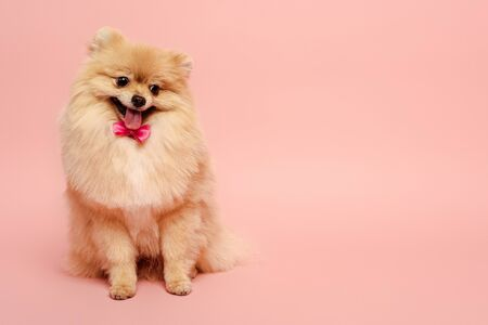 pomeranian spitz dog with cute bow tie sitting on pink