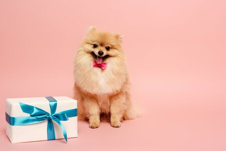fluffy pomeranian spitz dog in bow tie with birthday present on pink