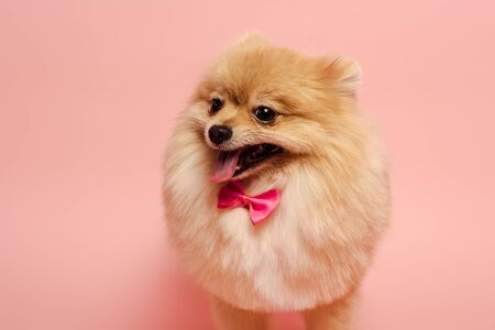 furry pomeranian spitz dog with cute bow tie standing on pink Banque d'images