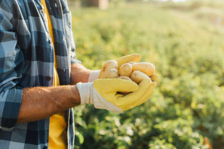 cropped view of farmer in plaid shirt and gloves holding fresh potatoes in cupped hands