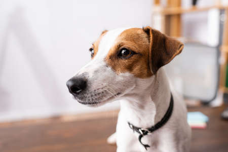 Selective focus of jack russell terrier looking away in office