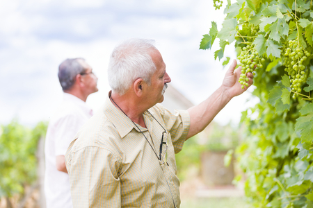 horticultural: Horticultural experts checking the development of grapes.
